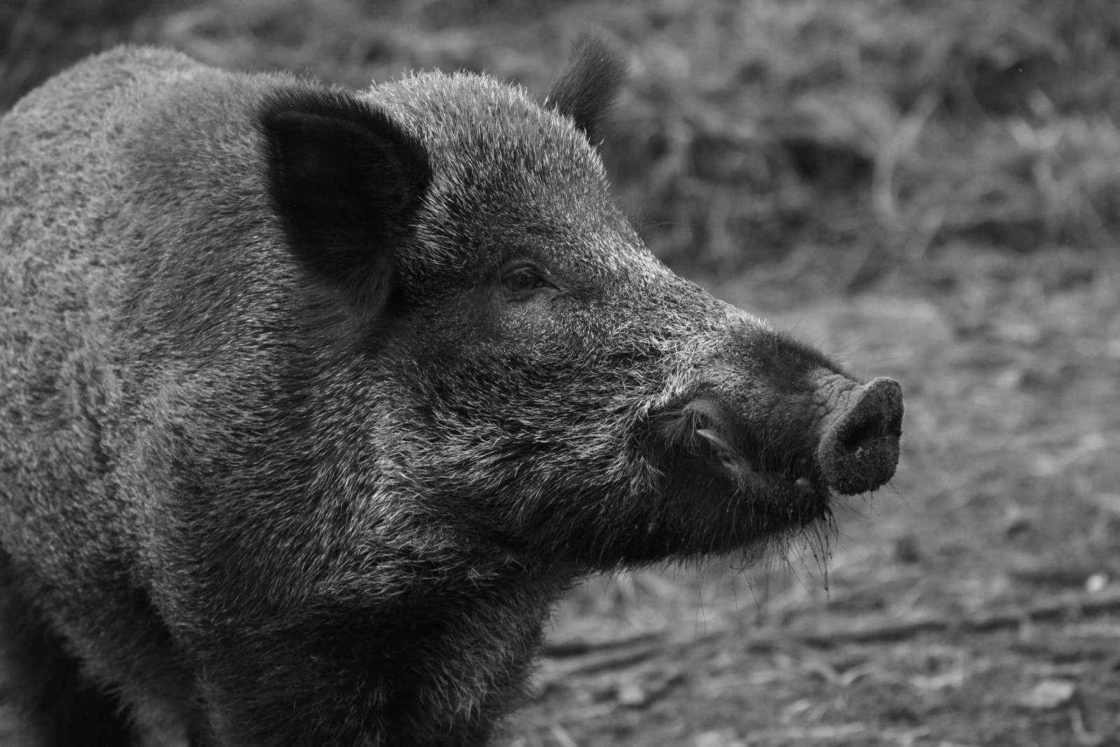 Mokslininkų planuose – susitikti su visų Lietuvos apskričių medžiotojais, kartu ieškoti būdų AKM plitimui sustabdyti ir ligai įveikti