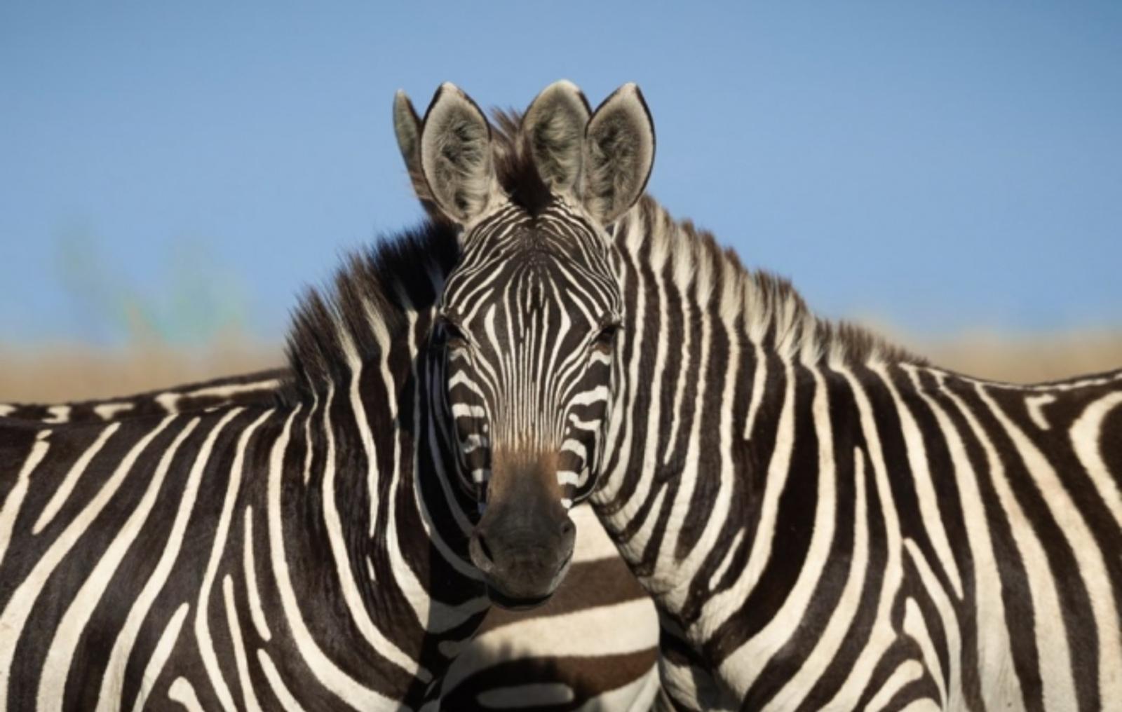 Ši nuotrauka sukėlė didžiulę diskusijų bangą: kuris zebras žiūri į kamerą?