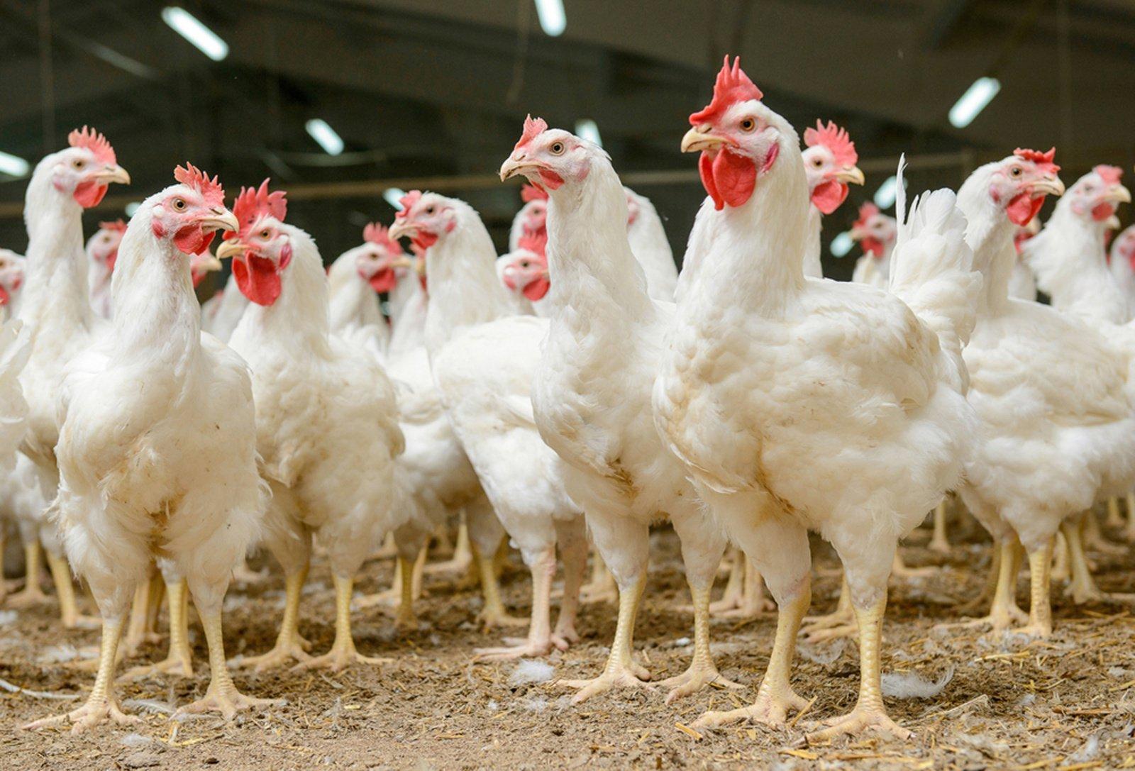 Europos Parlamentas balsuos dėl rezoliucijos, skirtos uždrausti gyvūnų auginimą narvuose