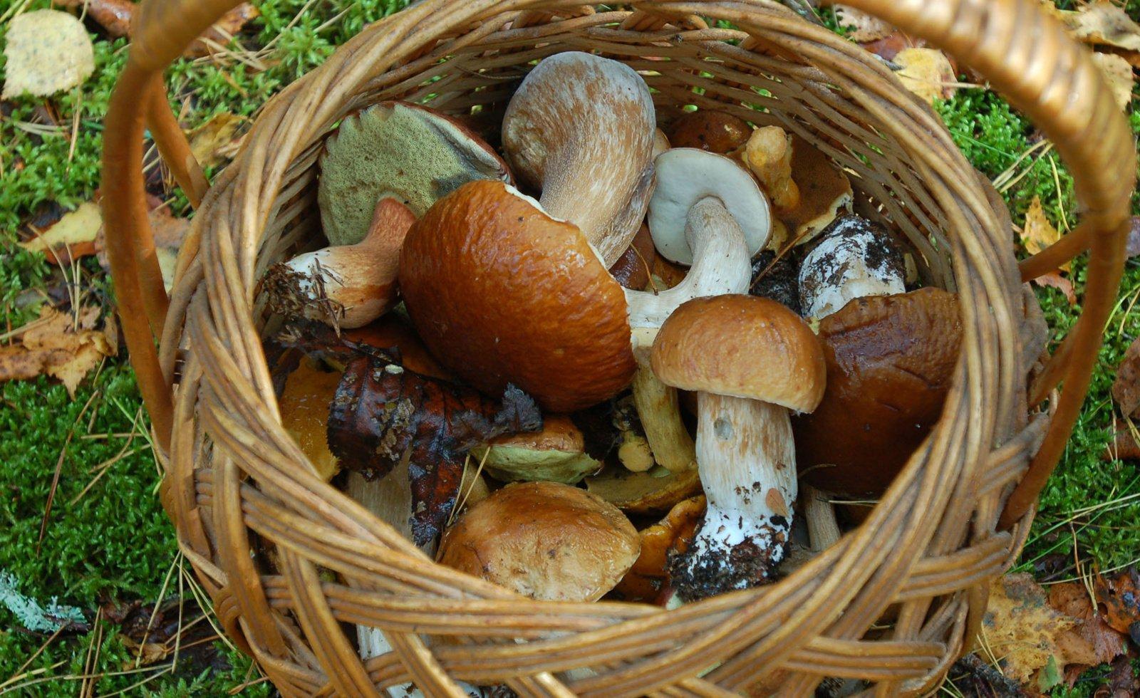 Penki patarimai pradedantiems grybautojams: kaip būti saugiems miške
