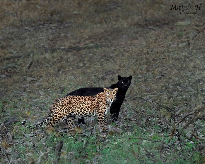 6 dienas lauktas kadras: juodoji pantera – leopardo šešėlis