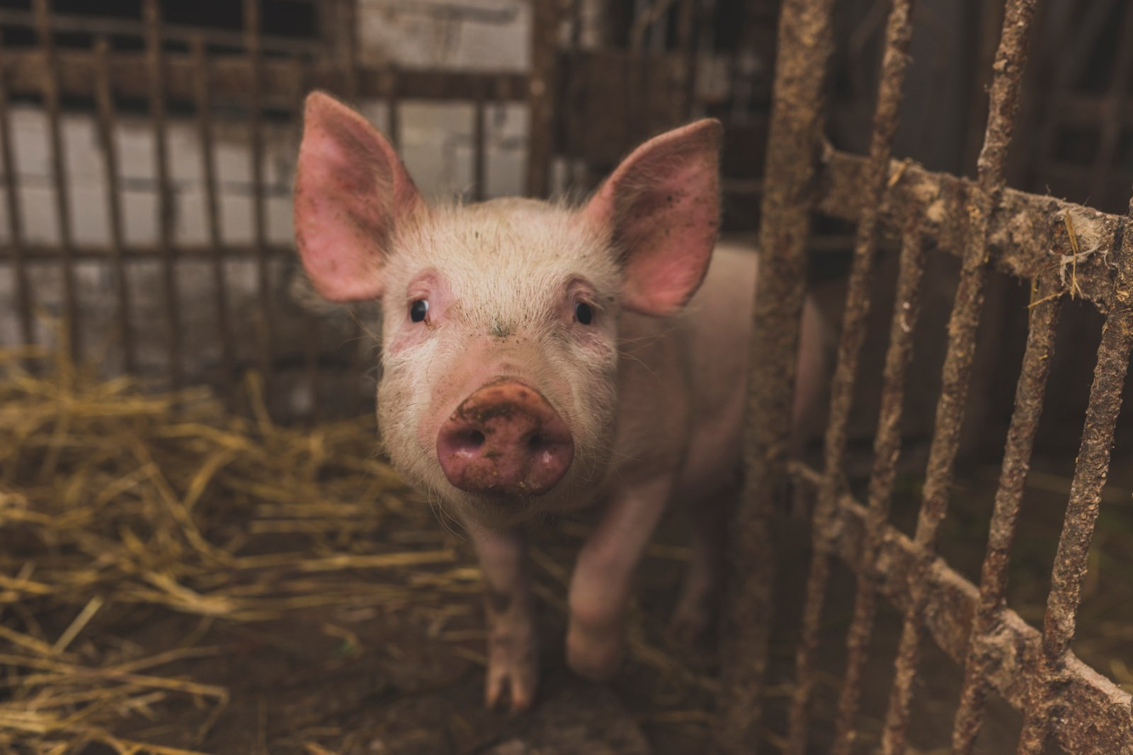 Antrą ketvirtį kiaulių supirkimo kaina Lietuvoje mažėjo
