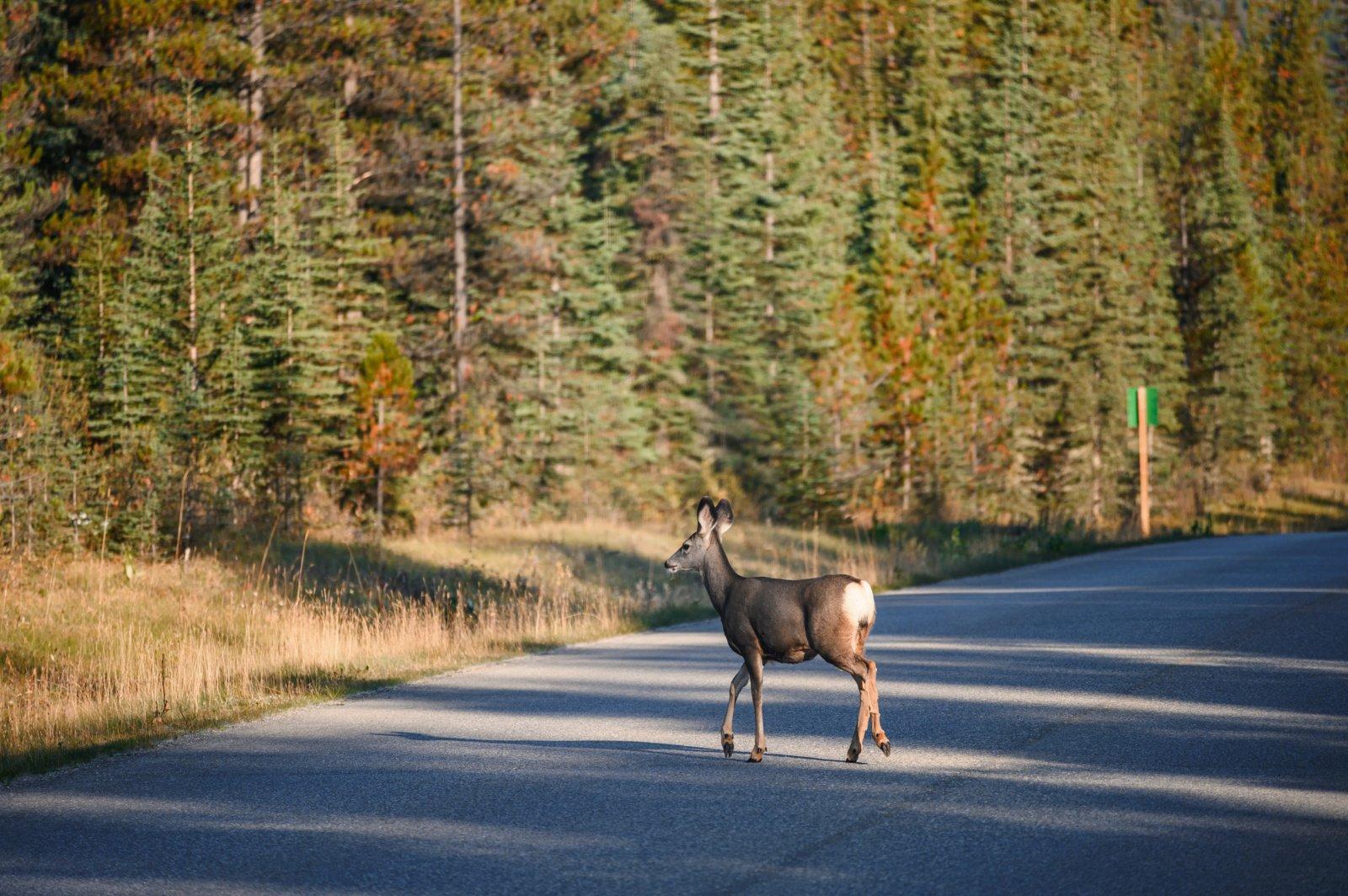 Būkite budrūs vairuodami – Trakų rajono keliuose gausu laukinių gyvūnų