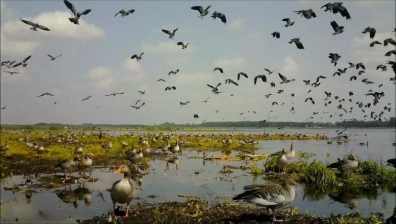 Aistros dėl paukščių medžioklės Žuvinto biosferos rezervate nerimsta: nevyriausybininkai išsakė savo nuomonę