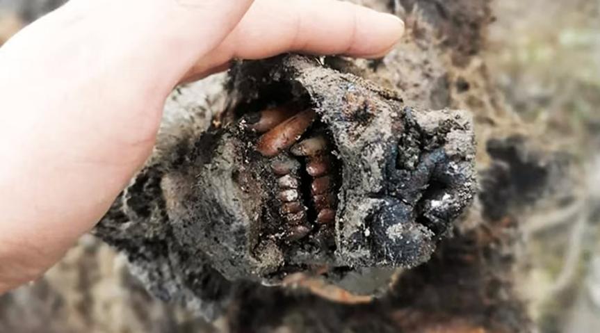 Pasaulinės svarbos atradimas Sibire: rastas 39 tūkst. metų amžiaus lokys