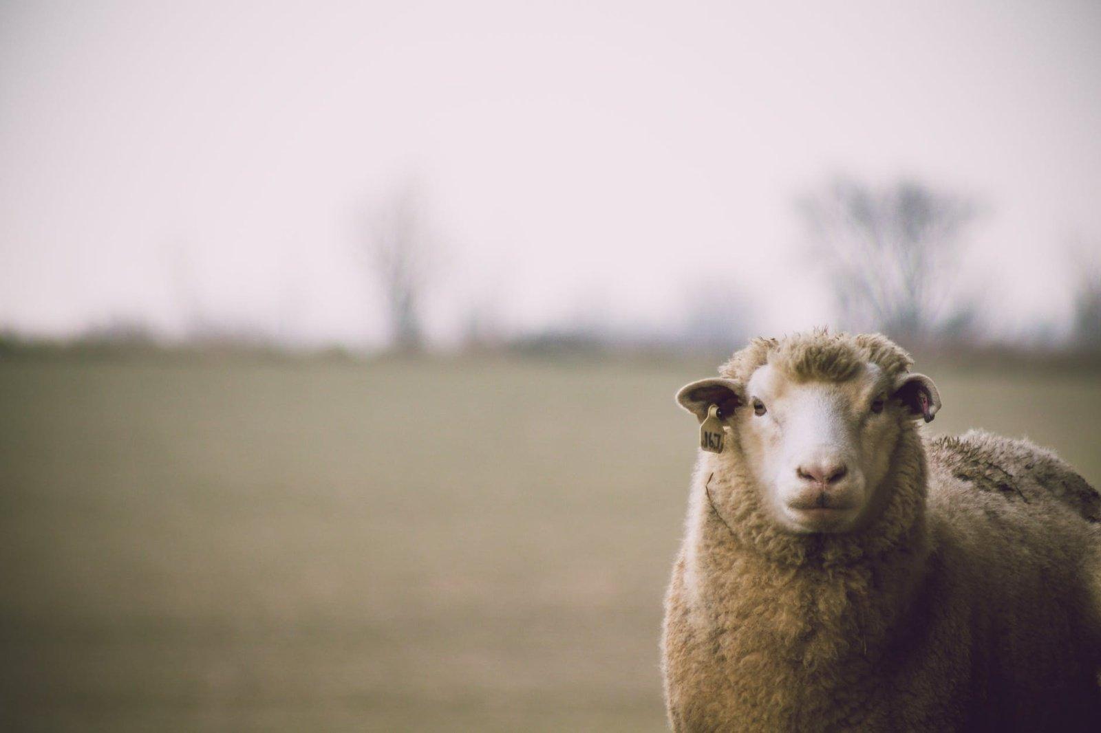 Šaukėnuose pavogtos keturios avys