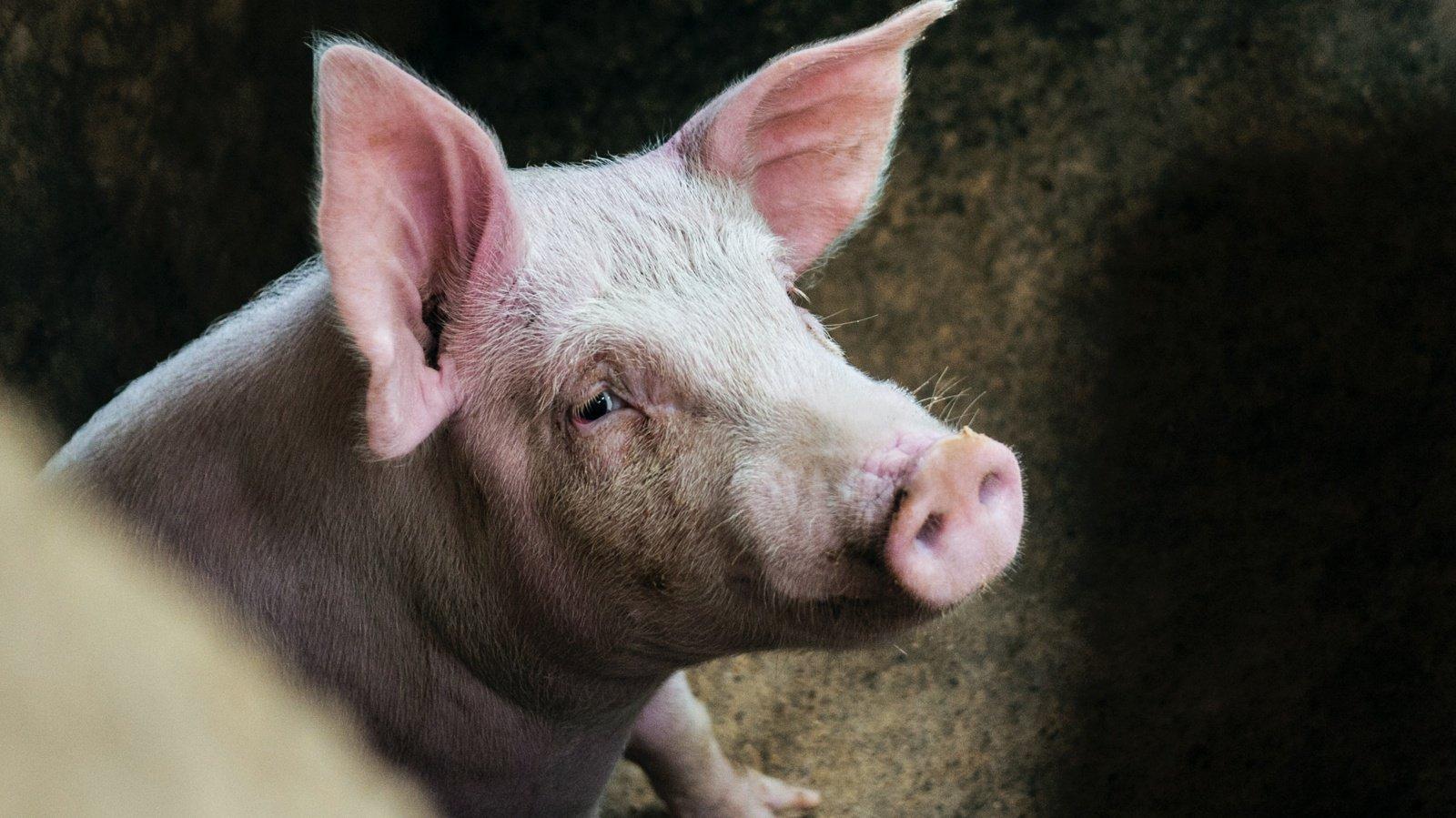 Lietuvoje mažėja teritorijų, kuriose taikomi griežčiausi apribojimai dėl afrikinio kiaulių maro