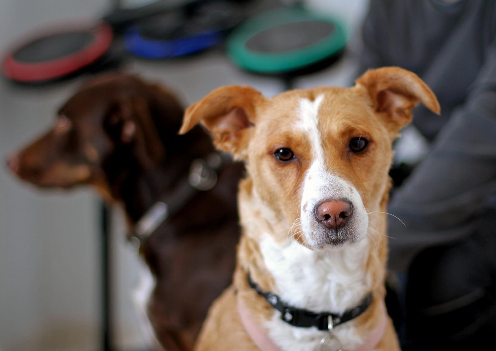 Suomijos tyrėjai: eksperimentas su COVID-19 užuodžiančiais šunimis davė teigiamų rezultatų