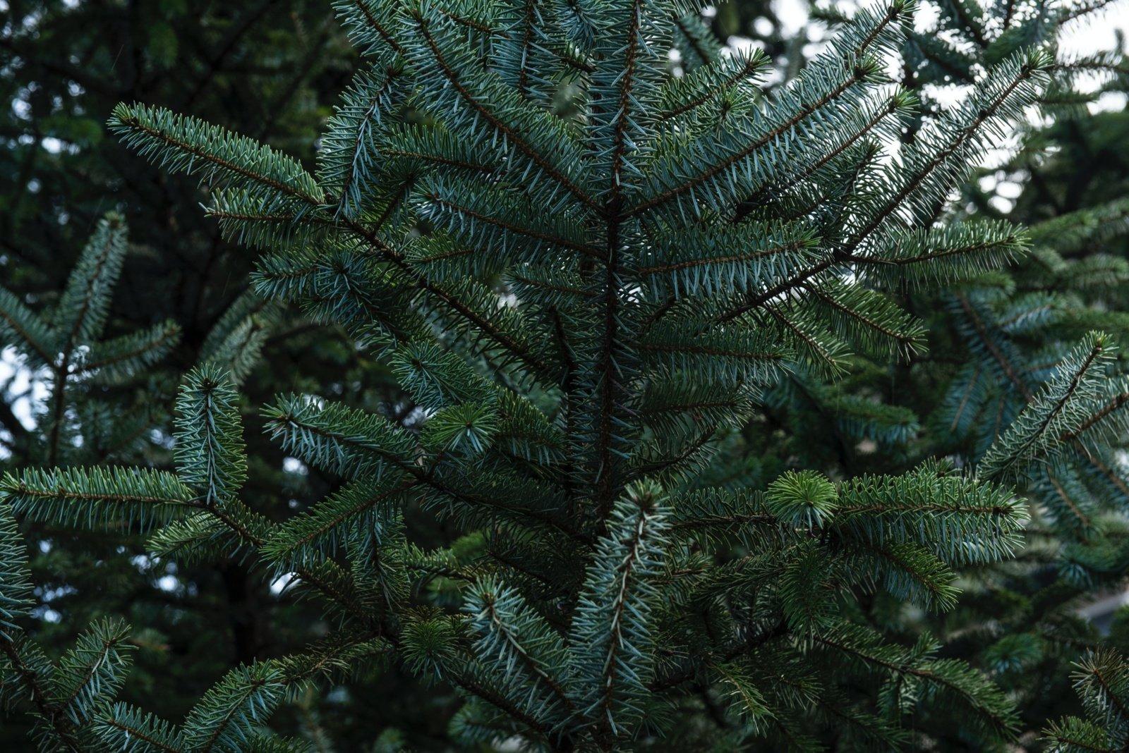Valstybinių miškų urėdija pradėjo prekybą Kalėdų eglutėmis