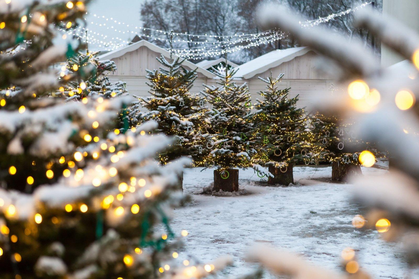 Kviečia vilniečius išsaugoti šventines eglutes iki pavasario ir pasodinti Kalėdų mišką