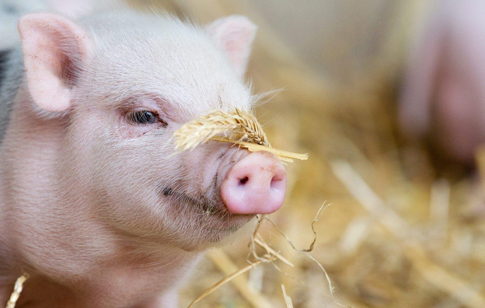 Latvijoje – afrikinio kiaulių maro protrūkis komerciniame kiaulininkystės ūkyje
