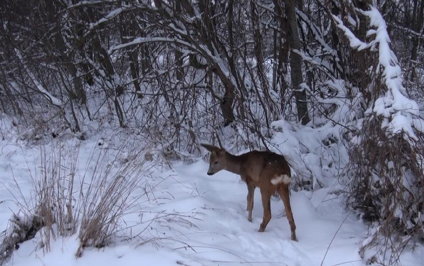 Panevėžio aplinkosaugininkai, išlaisvinę grandine prirakintą stirniuką, paleido jį į mišką