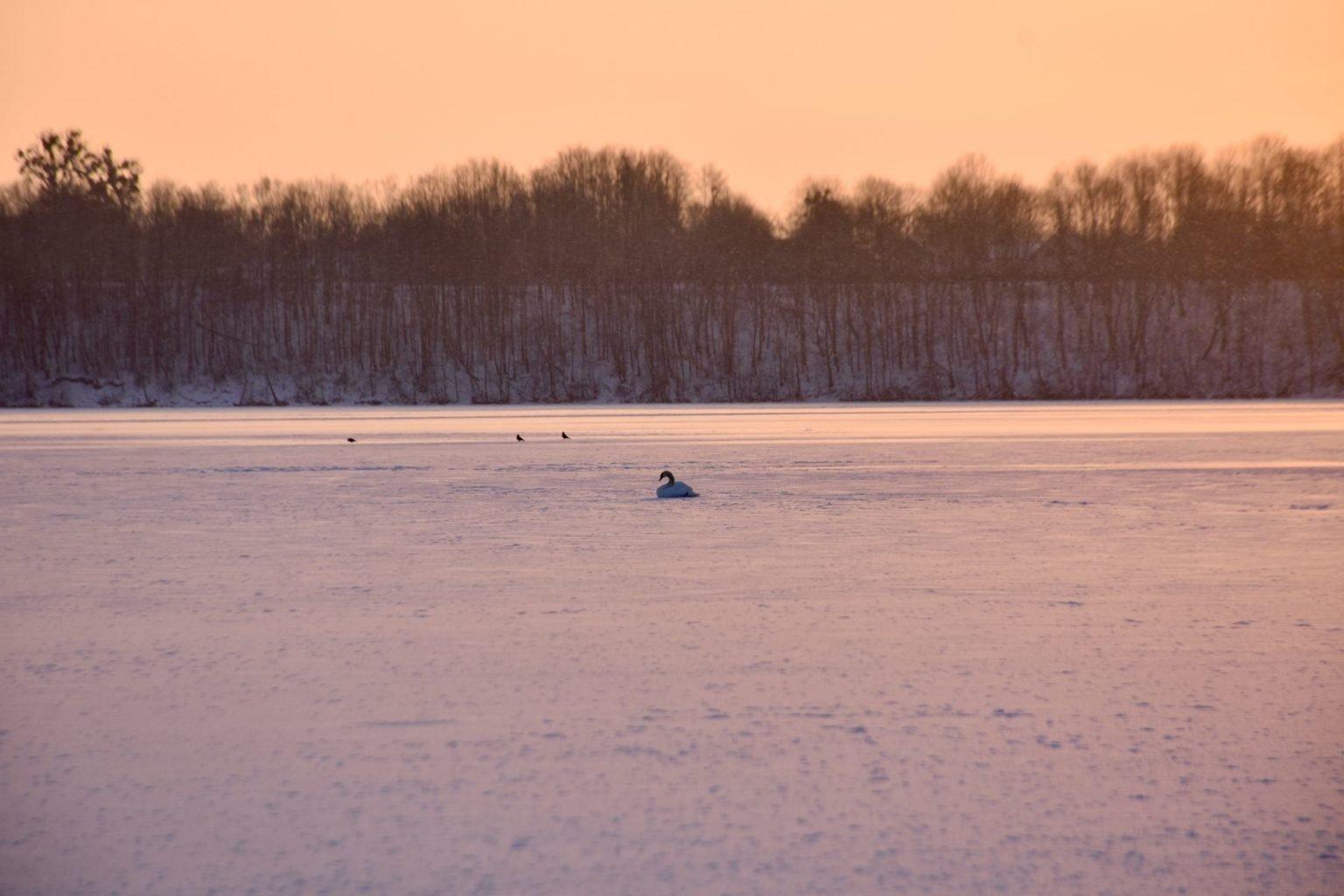 Kauniečiai nerimauja dėl šąlančios gulbės ant Kauno marių ledo