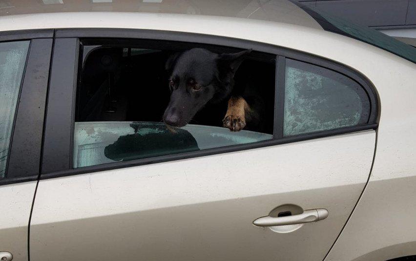 Klaipėdos policija surado iš garažų bendrijos pavogtą šunį