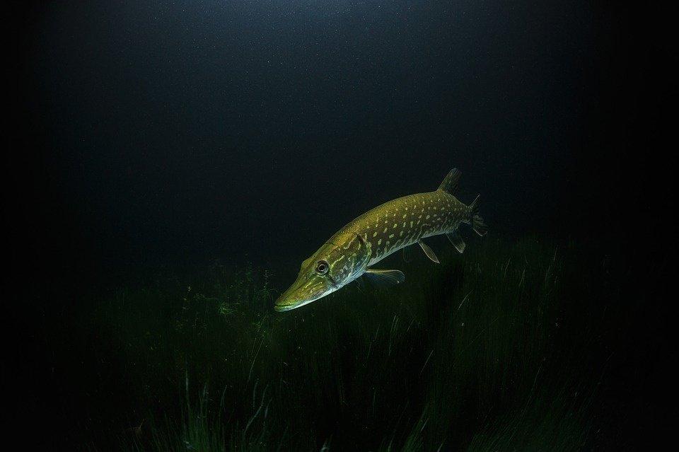 Įsigaliojo draudimas iki balandžio 20 dienos žvejoti lydekas