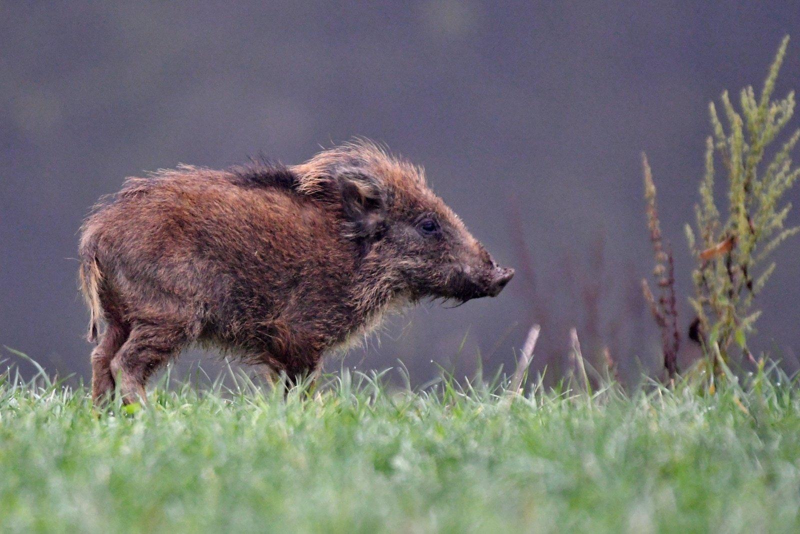Troškūnų seniūnijoje – afrikinis kiaulių maras