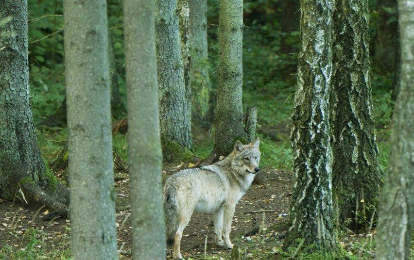 Sumedžiojus limitą, nutrauktas vilkų medžioklės sezonas
