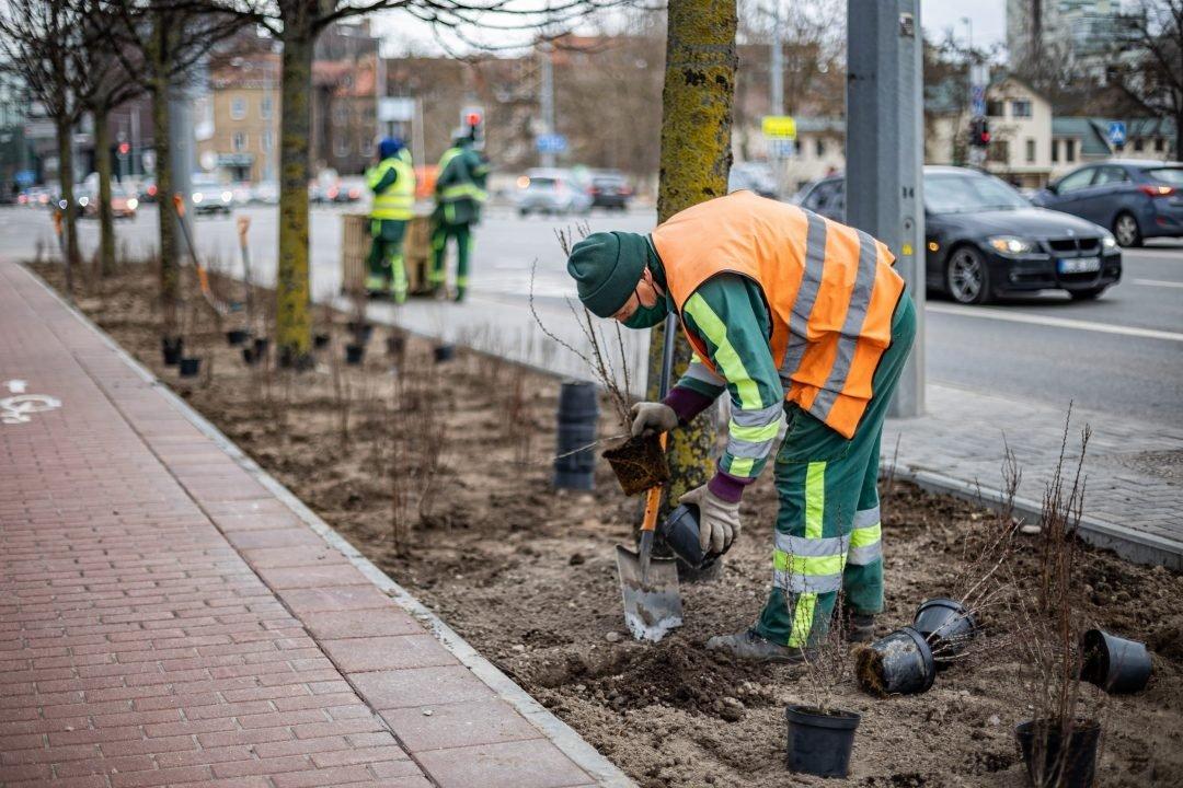 Vietoje metalinių eismo saugumo atitvarų Vilniuje bus sodinami krūmai