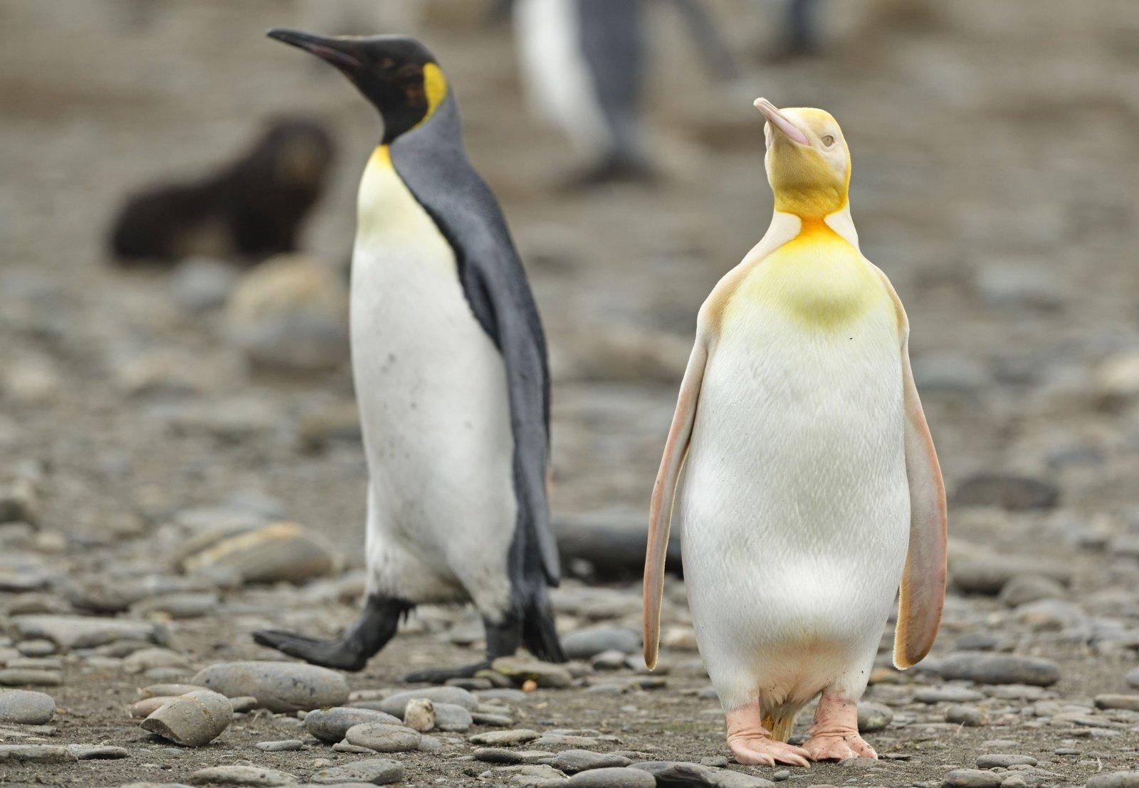 Stebinanti gamta: užfiksuotas niekada anksčiau neregėtas geltonas pingvinas