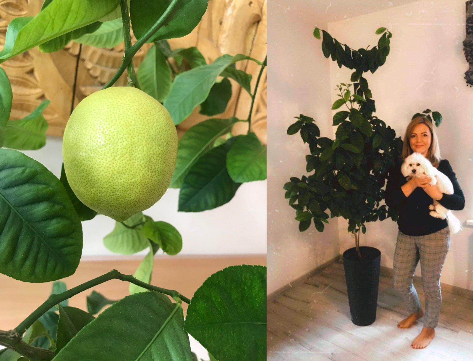 Joniškio gydymo įstaigoje užderėjo citrinų