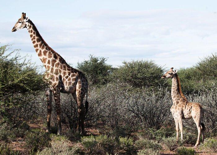 Afrikoje pirmą kartą užfiksuotos nykštukinės žirafos