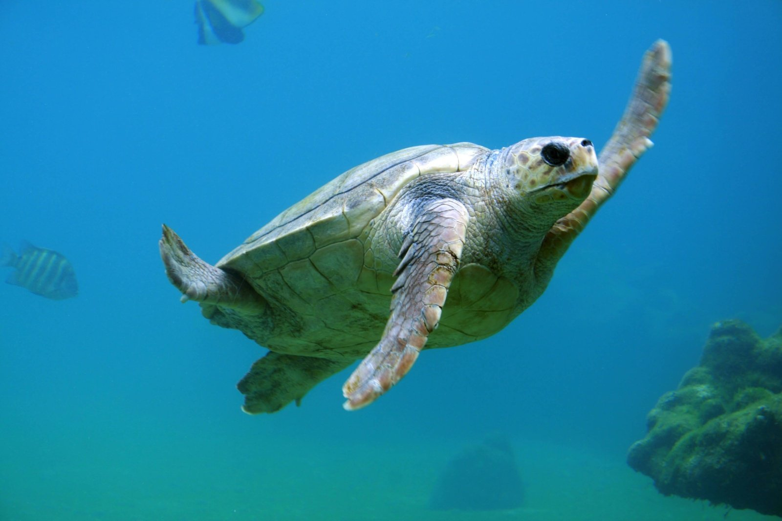 Mokslininkai pirmą kartą plastiko aptiko jūrinių vėžlių raumenyse