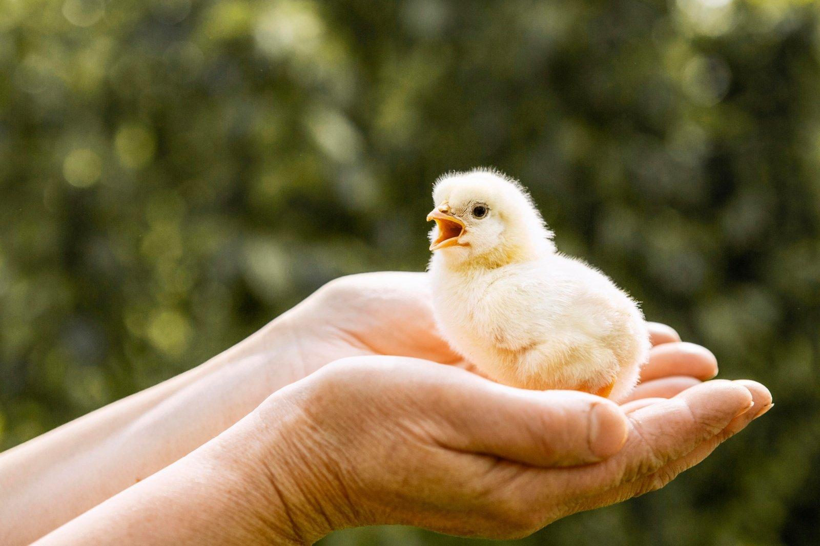 Nuo viščiuko iki broilerio. Svarbiausi faktai apie viščiukų įsigijimą, auginimą ir mitybą