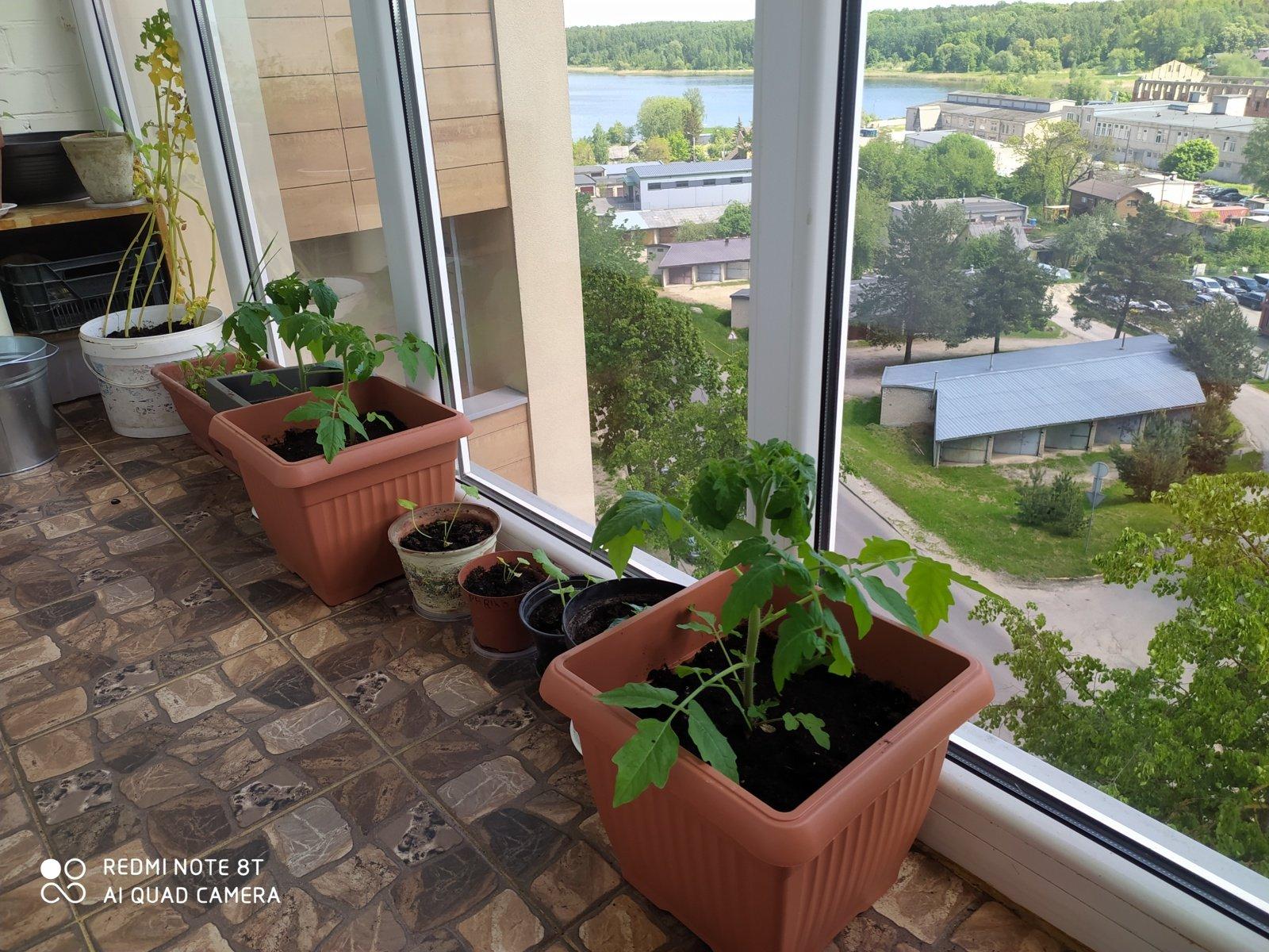 Ponai ir ponios, jau kvepia cepelinais Gerovės balkonas (10)