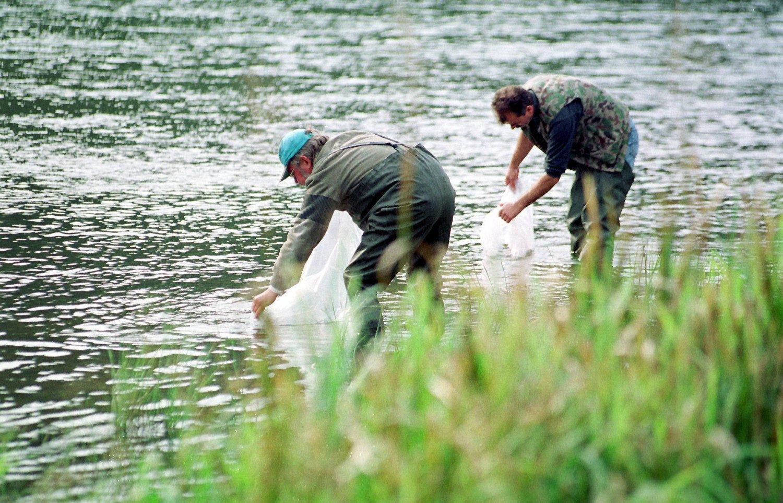 Vilniuje į Neries upę bus paleista 2 tūkst. ypač retų žuvų – ūsorių