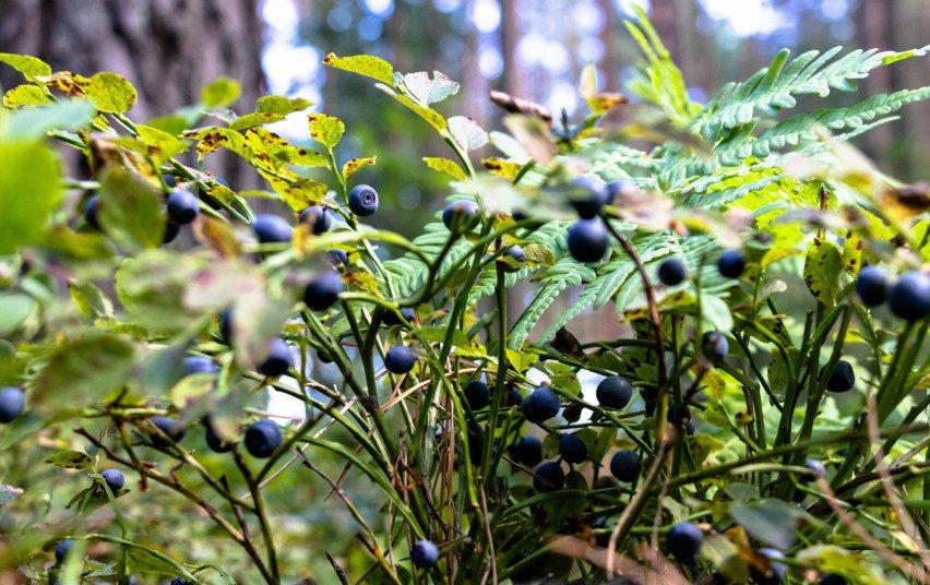 Prasidėjo miško gėrybių sezonas: kaip atsakingai grybauti ir uogauti?