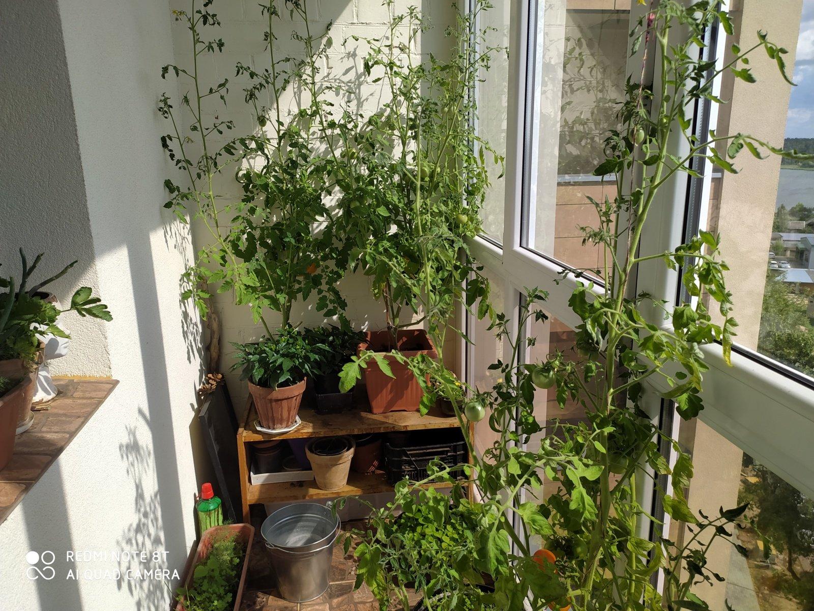 Pomidorų galetės – pirštelius apsilaižysite. Gerovės balkonas (16)