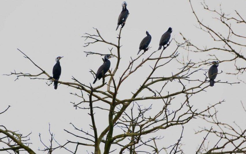 Šalyje suskaičiuota daugiau kaip 9 tūkst. perinčių didžiųjų kormoranų porų