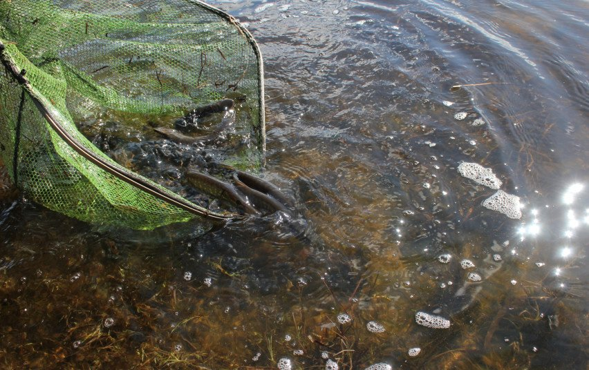 Į 15 vandens telkinių paleista 6600 šiųmetinių lydekų