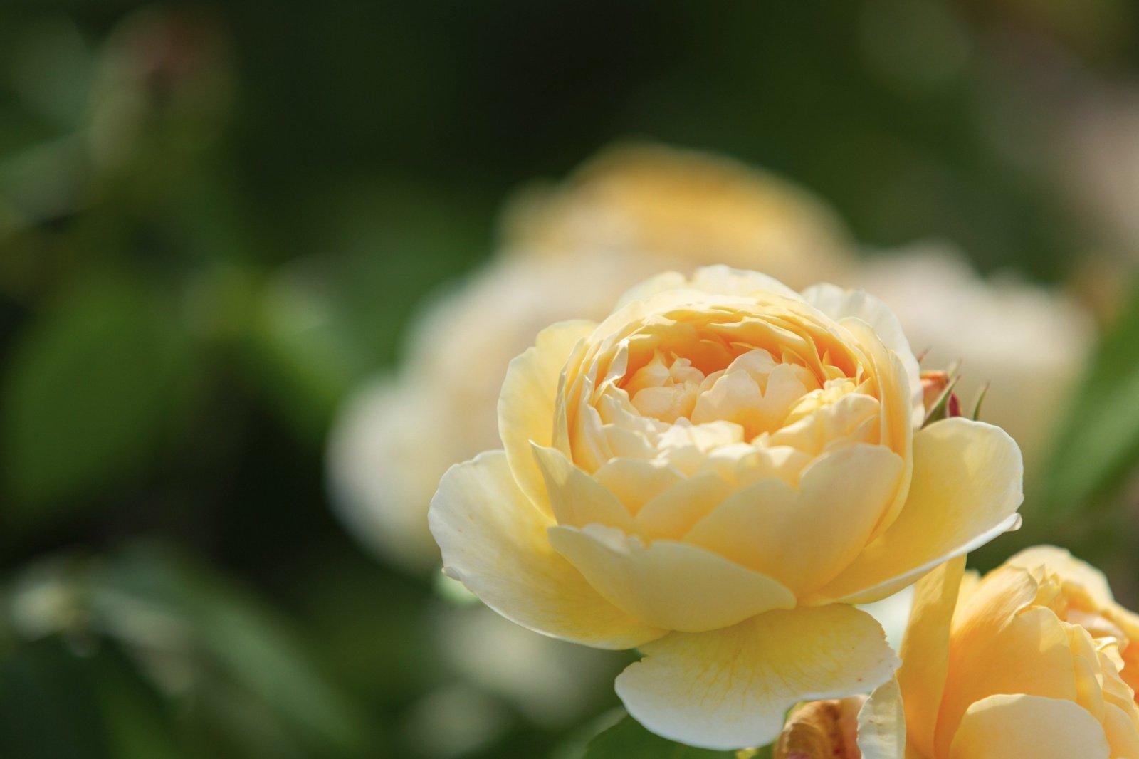 Lankytojai kviečiami pažinti Chaimo Frenkelio vilos parko rožyną