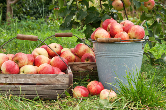 Ruduo derliaus metas, o ką daryti kai to derliaus per daug?
