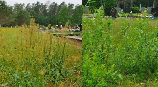 Pradėjus domėtis kapinėse žolė buvo nušienauta