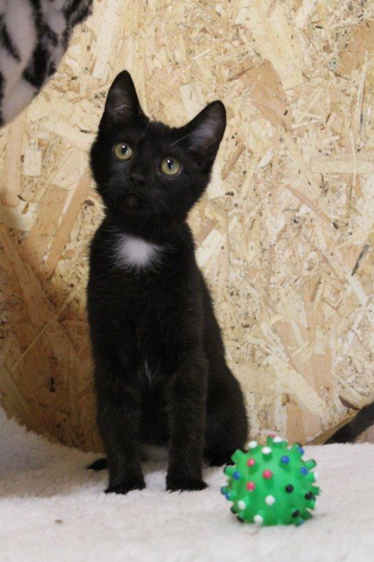 Jauna sterilizuota katytė Vytė ieško namų