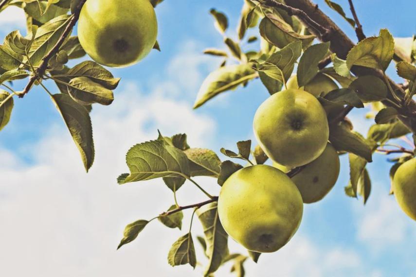 Išmaniosios technologijos apsaugojo obuolių derlių