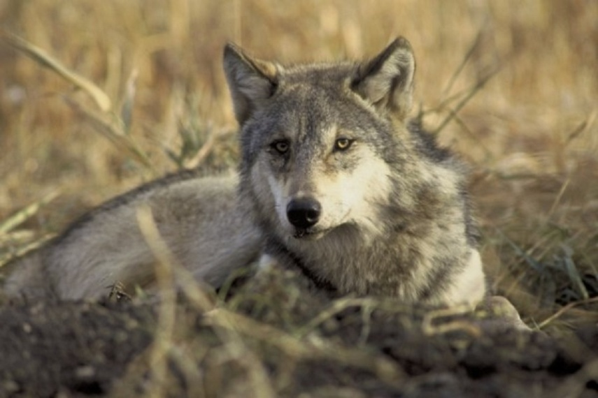 Medžioklės sezonas: rokiškėnas sumedžiojo vieną vilką, kupiškėnas – du