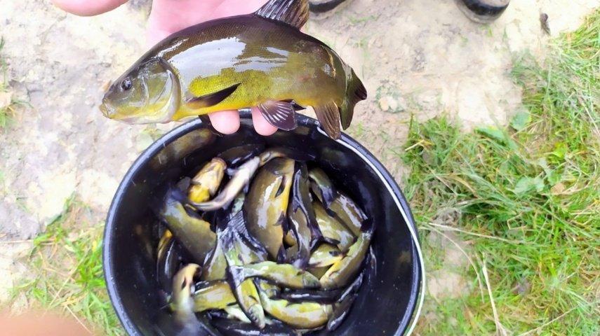 Į šalies ežerus paleisti 25 tūkstančiai lynų