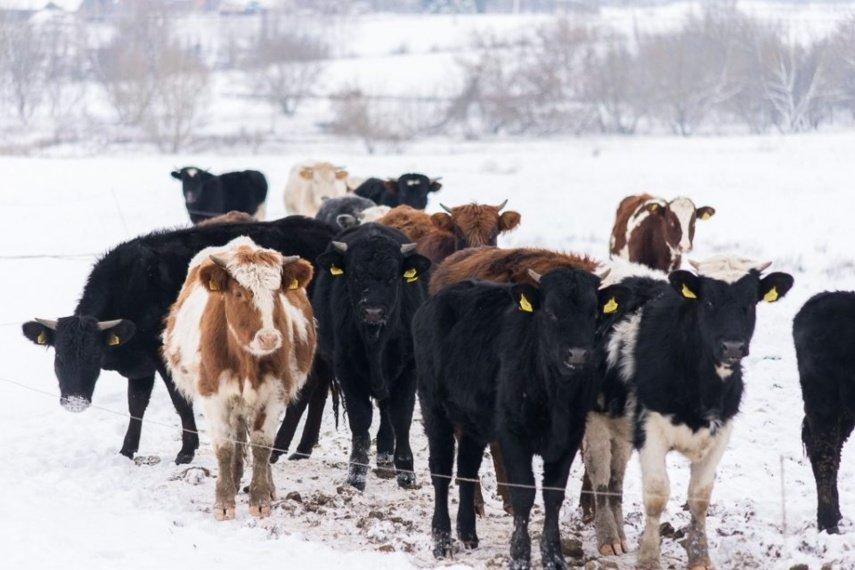 Panevėžio rajono laukuose žiemą besiganančioms karvėms šalčiai nė motais