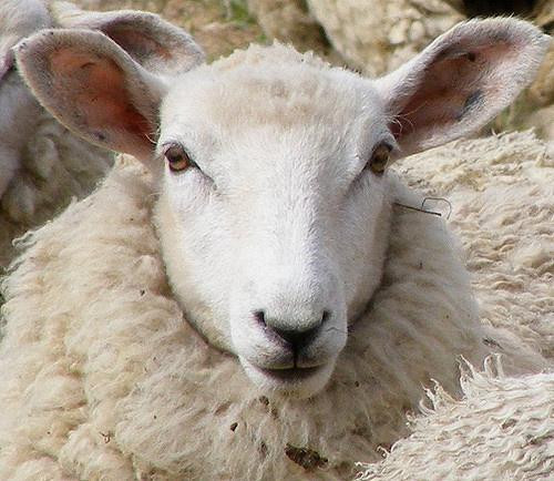 Kretuono ežero salos kraštovaizdžiu rūpinasi daugiau šimtas avių
