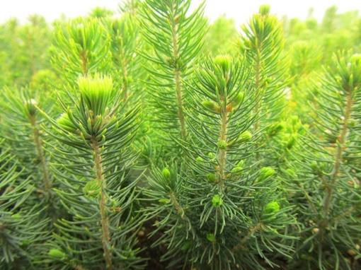 Privačiuose miškuose sužaliuos 3 tūkst. hektarų naujų miškų