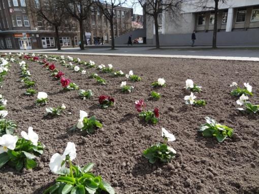 Panevėžyje daugėja gėlių
