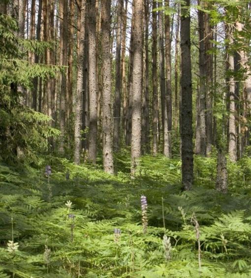 """Neoficiali miškų plotų statistika gali """"pradanginti"""" ir tūkstančius hektarų"""