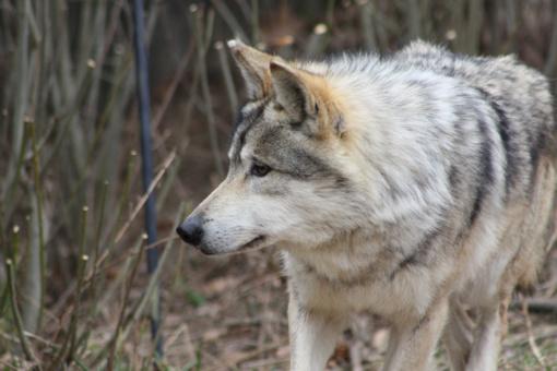 Patvirtinta Klaipėdos rajono savivaldybėje vilkų ūkiniams gyvūnams padarytos žalos kompensavimo tvarka
