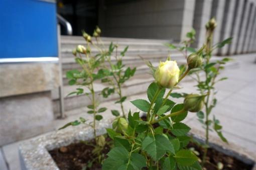 Alytus puošiasi: mieste pasodinta beveik 400 rožių sodinukų