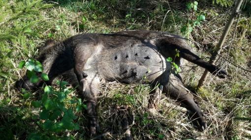 Afrikinis kiaulių maras nustatytas 5 šernams