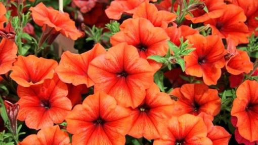 Lietuva imasi skubių veiksmų aptiktoms genetiškai modifikuotoms petunijoms pašalinti iš rinkos