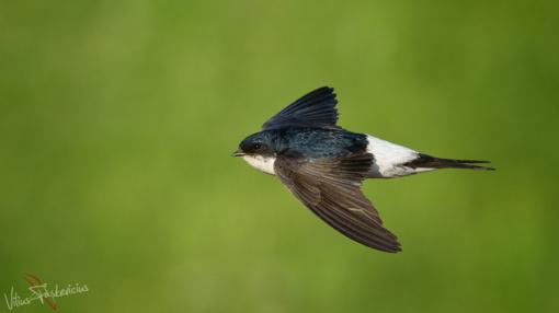 Lietuvos metų paukštis– langinė kregždė